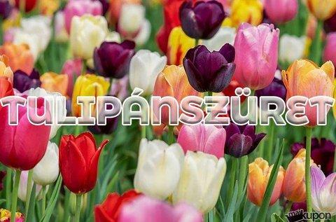 Húsvéti tulipánvirágzás és -szüret a Balatonnál