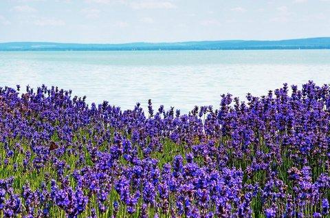 Levendulaszüret júniusban a Balaton-felvidéken